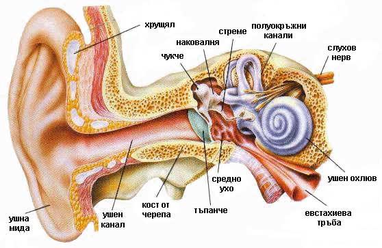 uho otit hronichen